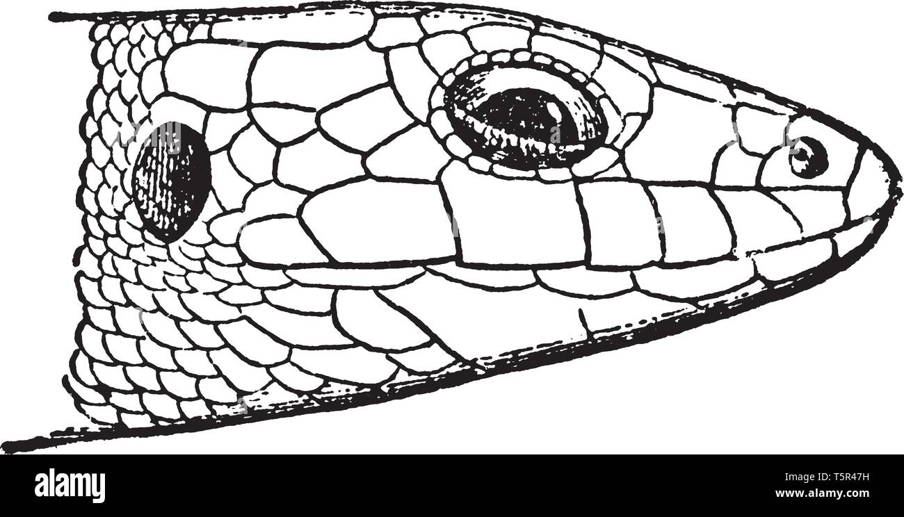 Laceria Agilis is a lacertid lizard distributed across most of Europe and eastwards to Mongolia, vintage line drawing or engraving illustration. - Stock Vector