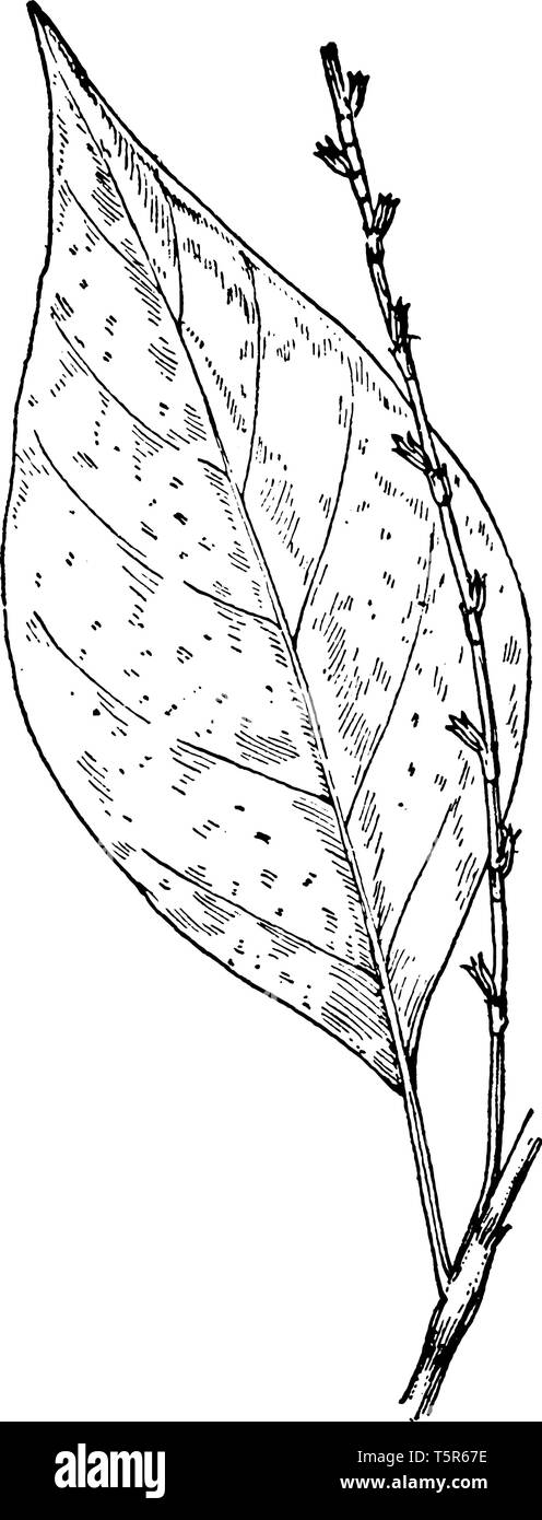 Jump seed is known as Persicaria Virginiana. The leaves are alternate, Simple and usually hairy on both sides, vintage line drawing or engraving illus - Stock Image