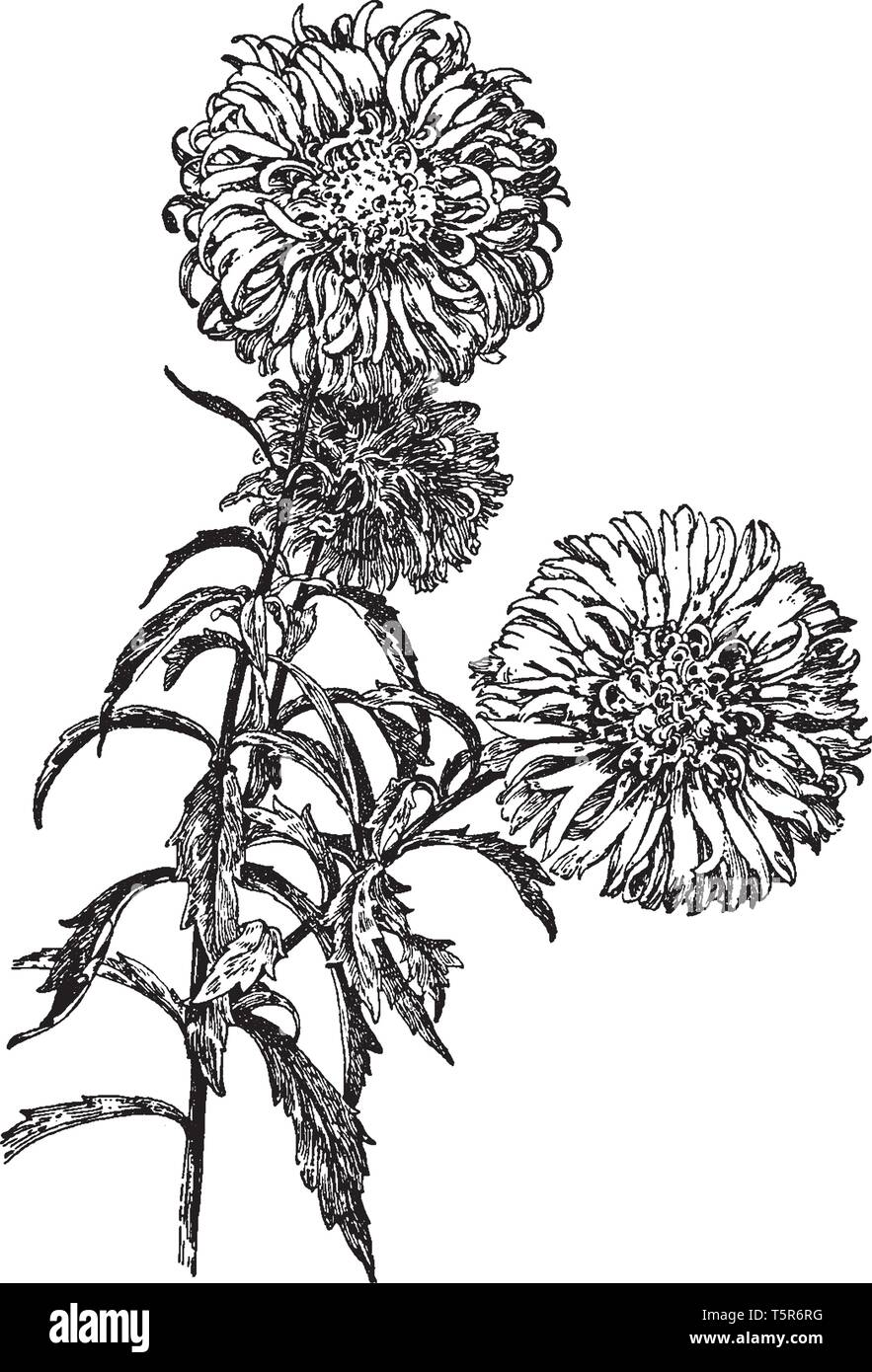 The image shows the comet type of China aster. There are many yellow disc florets in the center. The fruit is a rough-textured, glandular, purple-mott - Stock Image