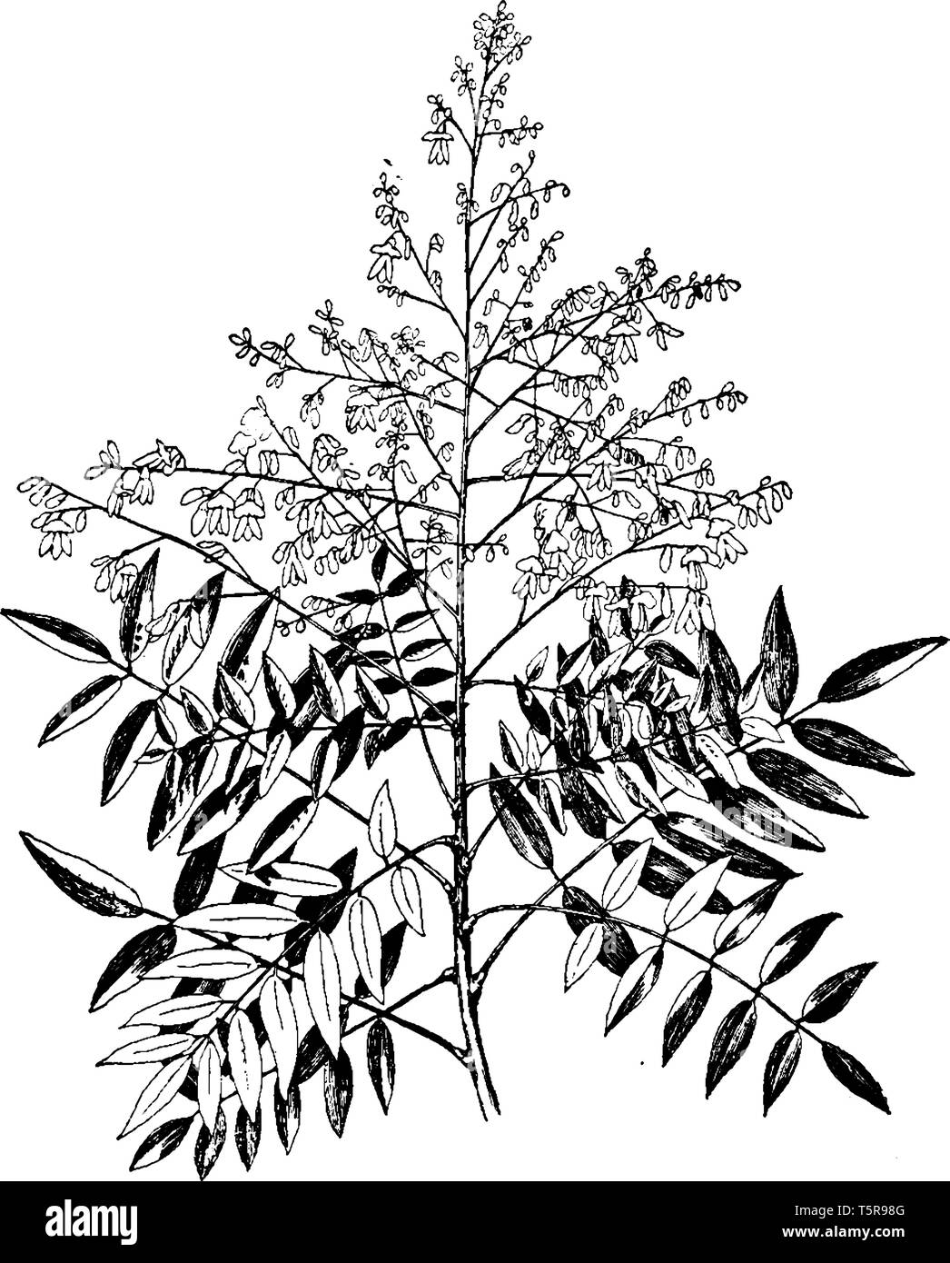 Sophora japonica is a genus of tree, also called Japanese pagoda tree or Chinese scholar tree, and is native to China and Korea. The leaves of the tre - Stock Vector