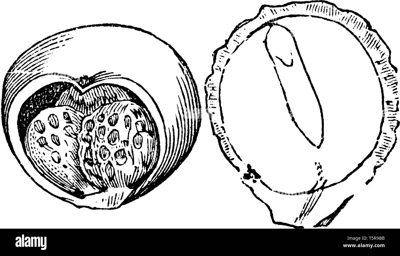 The picture is showing wild arum fruit, inside there some seed, the second picture shows the outside parts of the fruit, vintage line drawing or engra - Stock Vector