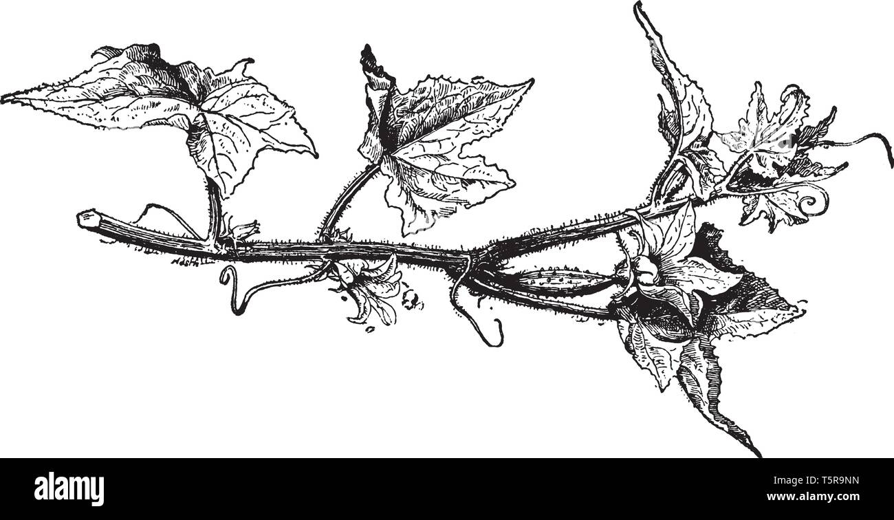 Cucumis Sativus (Cucumber) plants are tendril bearing vines with triangular prickly hairy leaves and yellow flowers which are either male or female, v - Stock Image