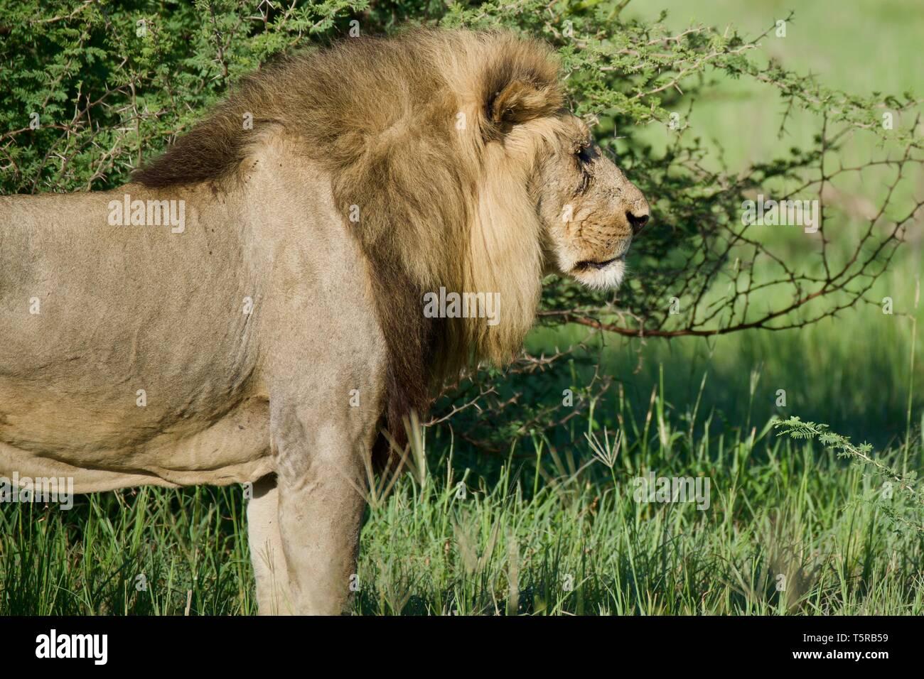 Scar Lion King Stock Photos & Scar Lion King Stock Images