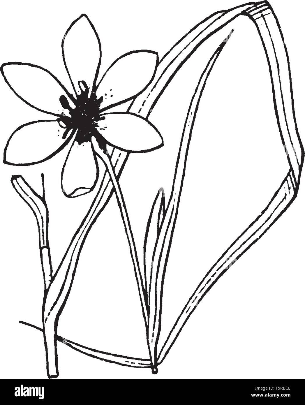 Flower purple, more than 3 cm; Leaves equally on the basis; which is coming in two ranks, from which the base of the plant appears flattened, vintage  - Stock Vector