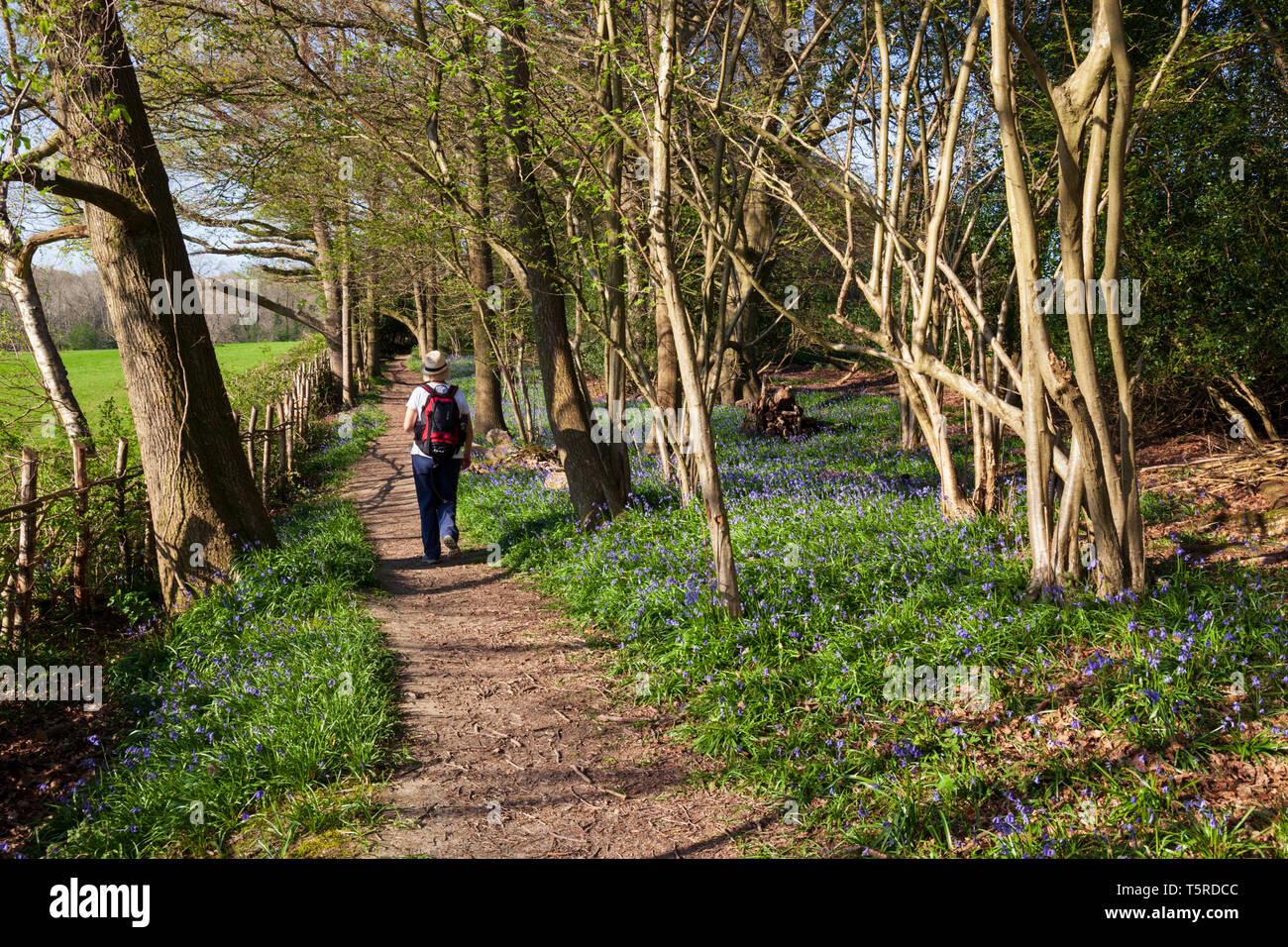 Footpath through bluebell woods in the Ashdown Forest near Danehill, near Haywards Heath, Sussex, England, United Kingdom, Europe - Stock Image