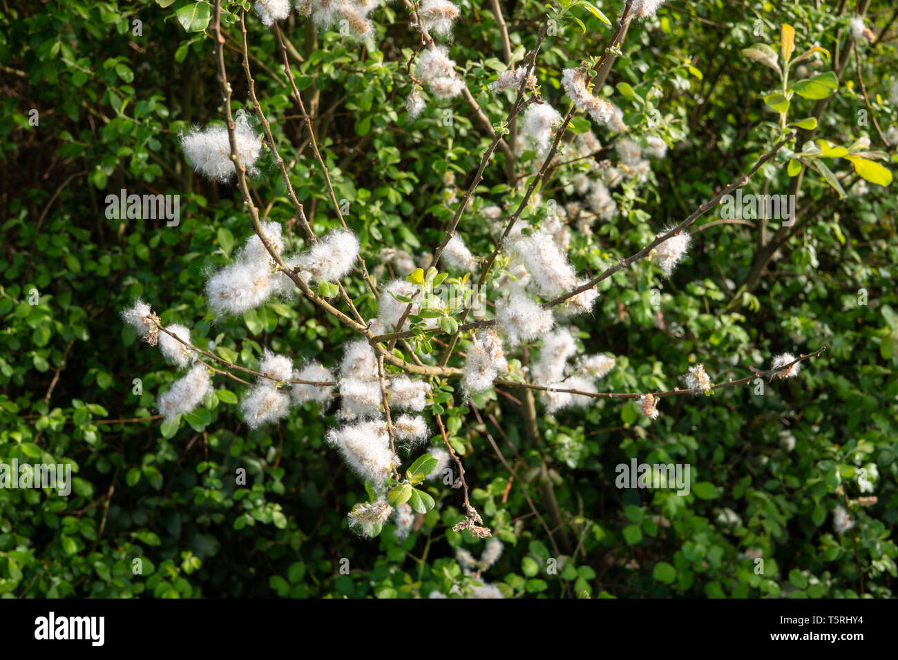 Blooming gramineae on springtime. Allergy concept - Stock Image