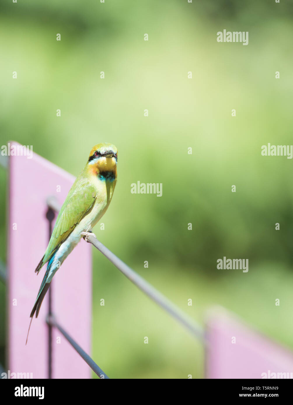 Rainbow bee-eater with colourful feathers perched in an outdoor setting in tropical Darwin, Australia - Stock Image
