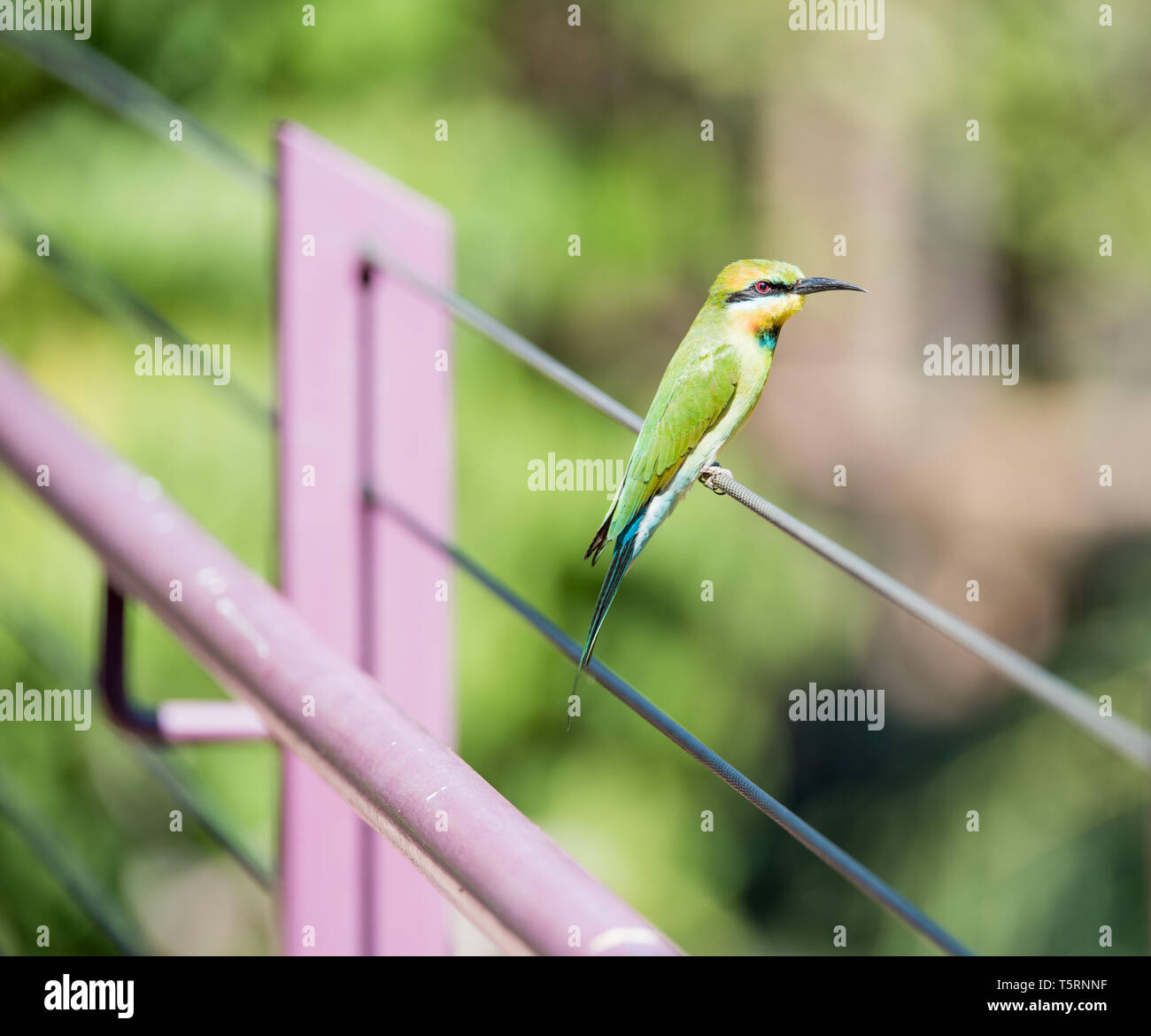 Rainbow bee-eater with colorful feathers perched in outdoor setting in tropical Darwin, Australia - Stock Image