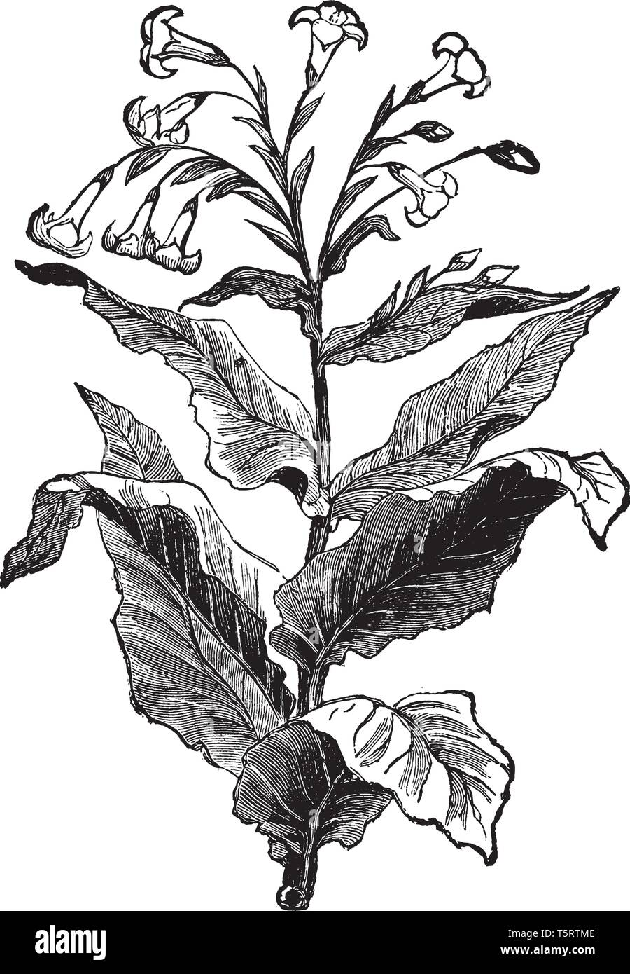 This is the Tobacco plant. The Tobacco plant leaves are alternative and long. The flowers are blooms on top of the stem, vintage line drawing or engra - Stock Vector