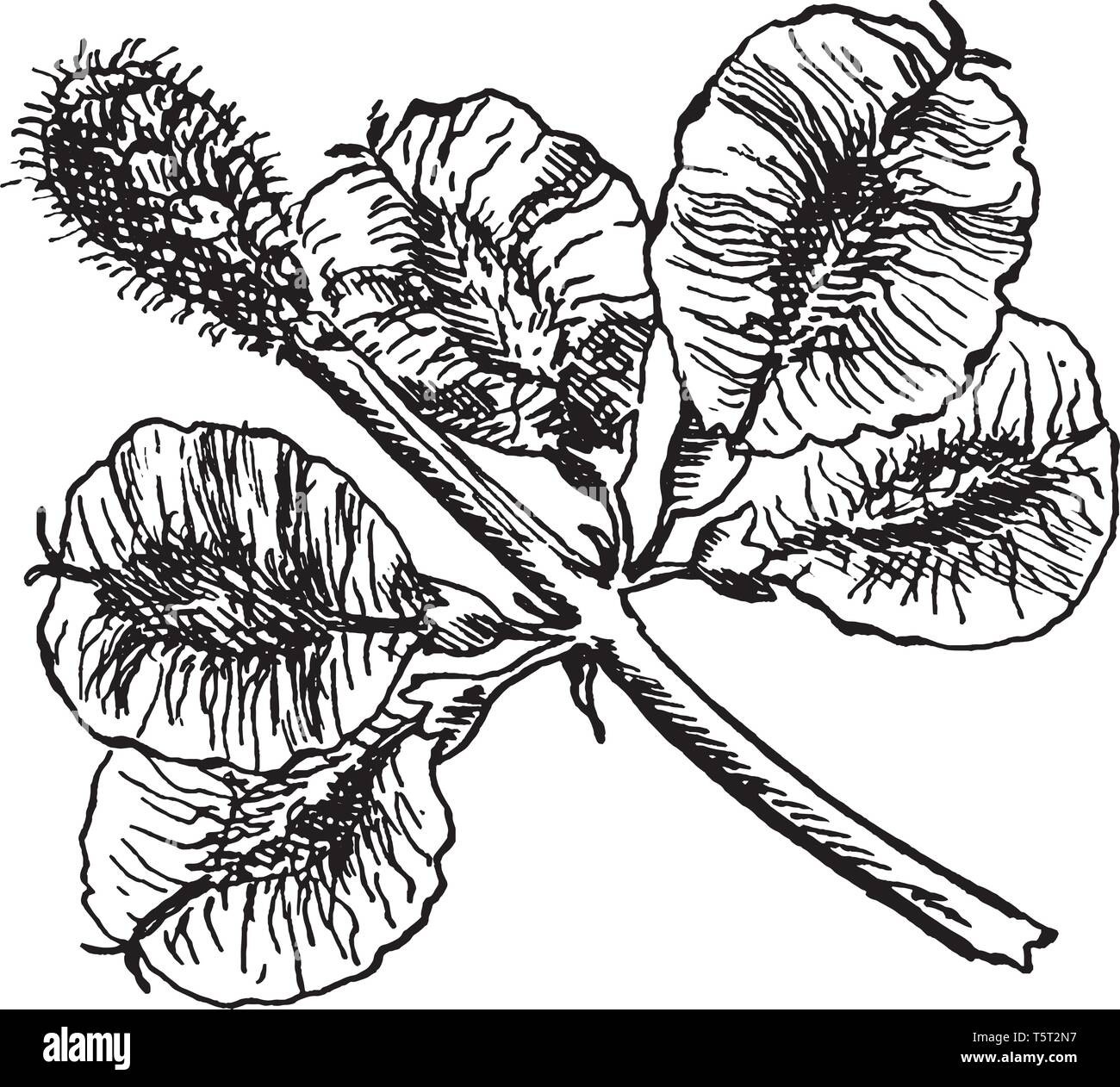 A picture showing the fruits or samara of Slippery Elm which is also known as Ulmus fulva. It is native to eastern North America, vintage line drawing - Stock Vector