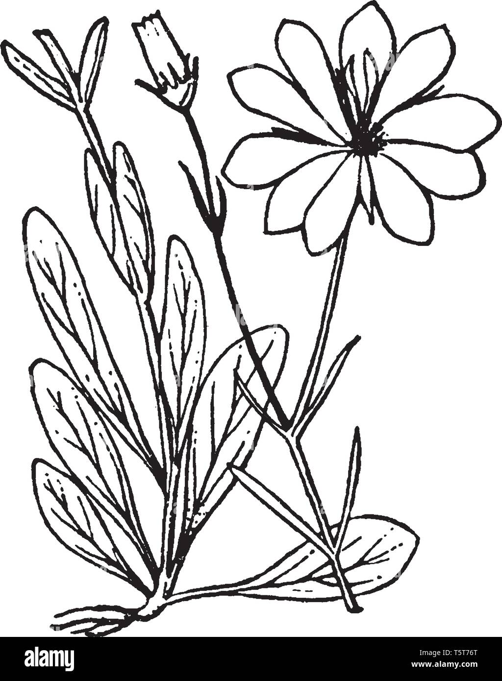 A picture is showing Sabatia. It belongs to Gentianaceae family and ntaive to North America. Its leaves are oblong and flowers are white or pink, with - Stock Image