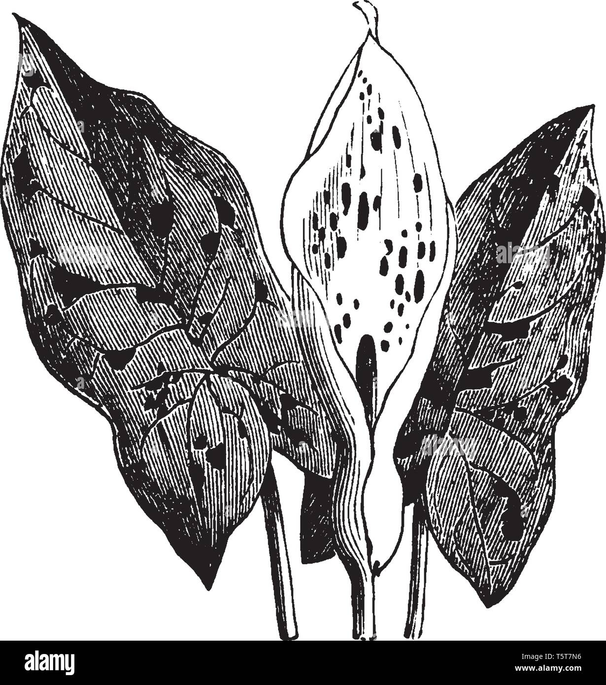 Wake-Robin also known as Arum maculatum is a perennial plant about 45cm long arrow-head shaped green leaves. It is found mainly in Europe, vintage lin - Stock Vector