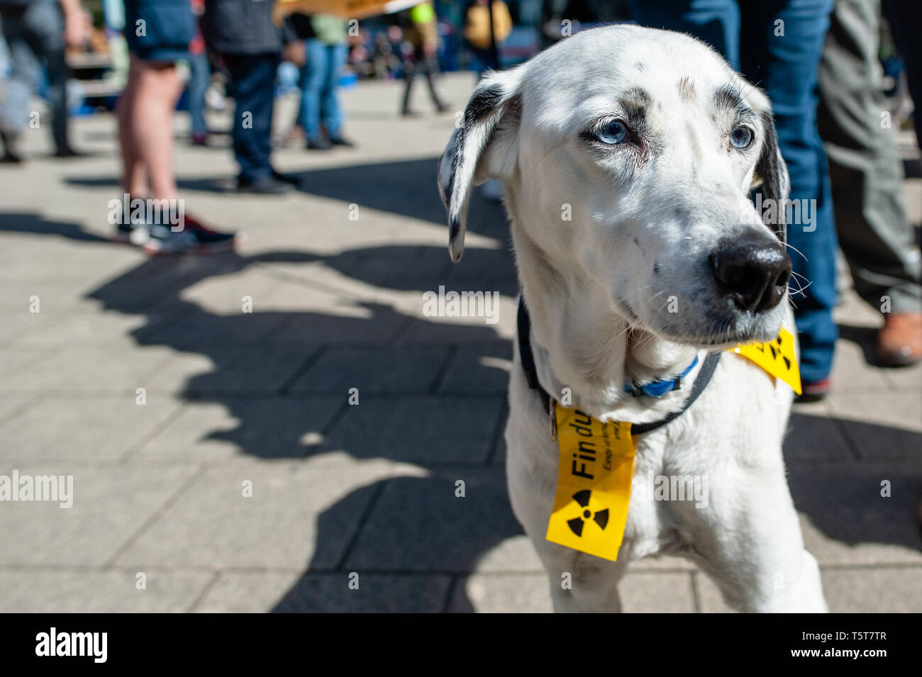 """A dog is seen with anti nuclear stickers during the protest. On the day that commemorates the 33rd anniversary of the Chernobyl nuclear disaster, a protest was organized by the """"Fin du nucléaire"""" and Réveil Anti-Nucléaire"""" associations, as well as director Bouli Lanners. They want the five most dangerous Belgian reactors to be shut down. - Stock Image"""