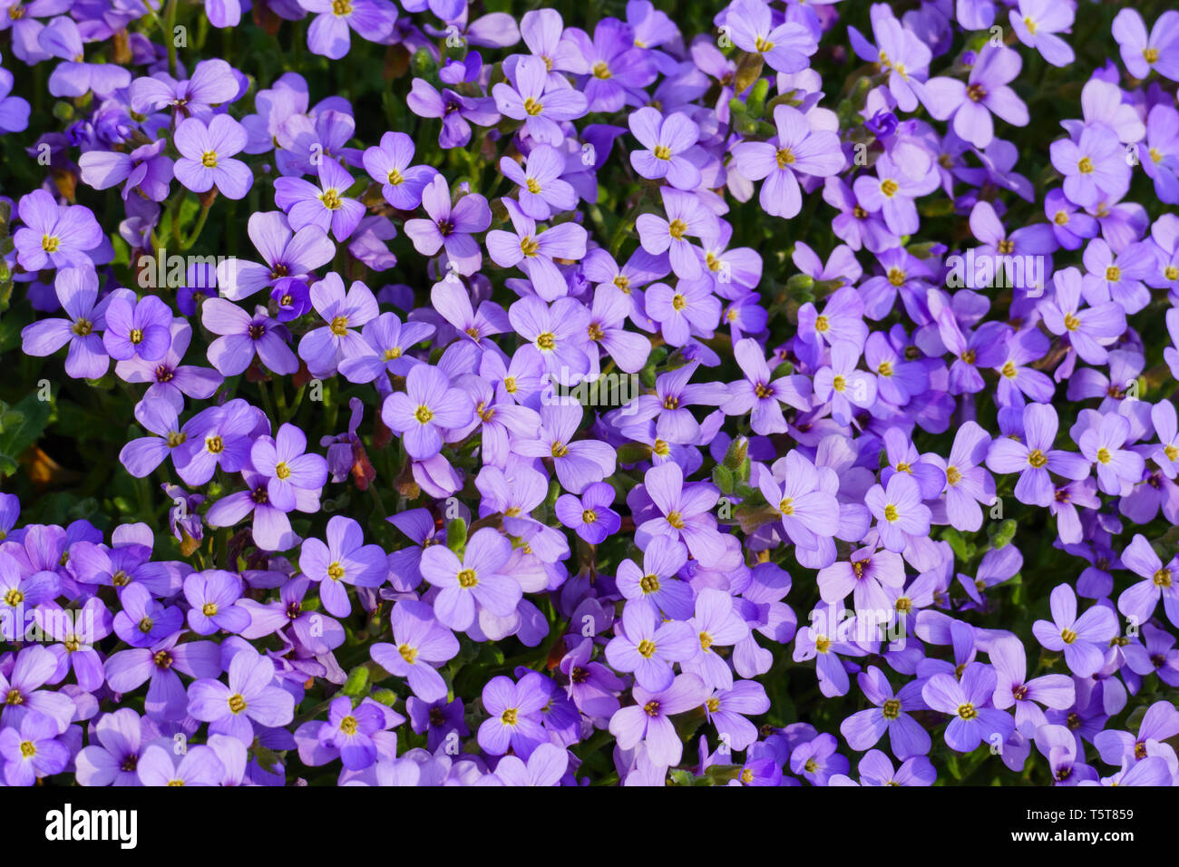 Blaukissen Steingartenpflanze, in blau lila im Frühjahr - Stock Image