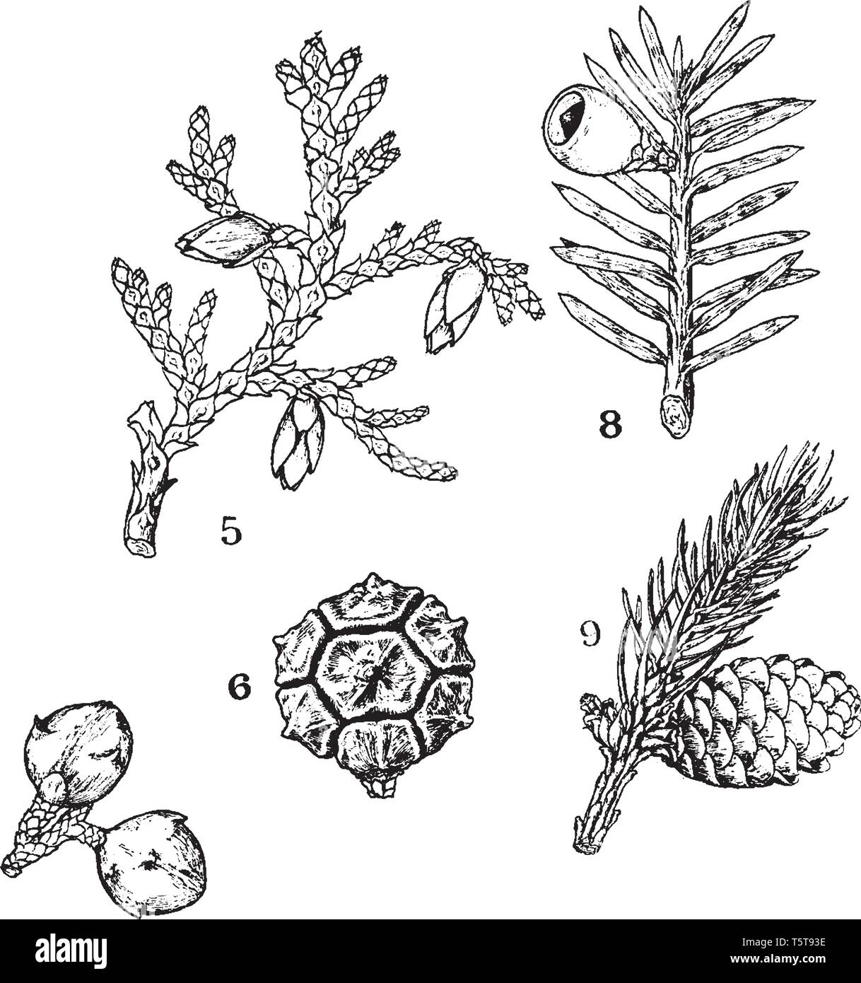 A picture showing some common examples of Pinales. The picture shows Thuja, Strobilus, branch of Taxus, Picea, etc, vintage line drawing or engraving  - Stock Image