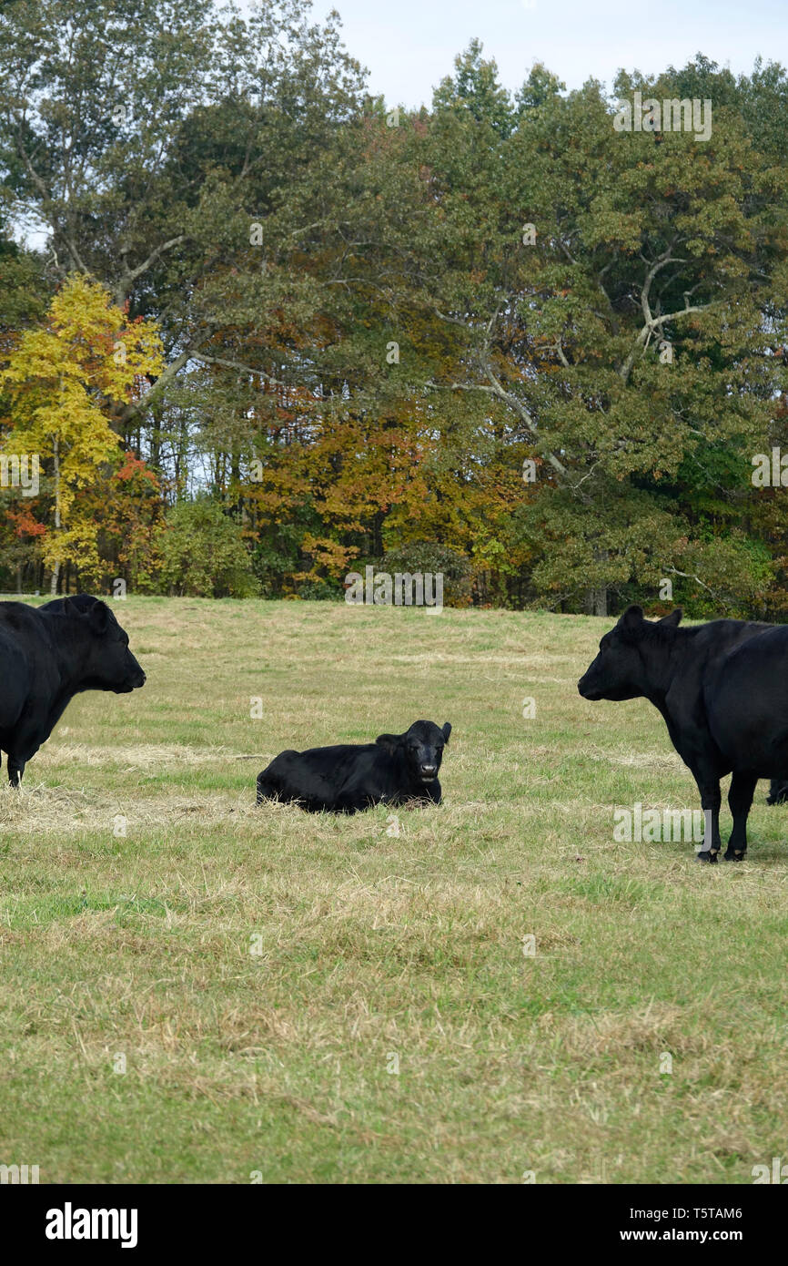 Three Black Cows on a Farm in the Fall Stock Photo