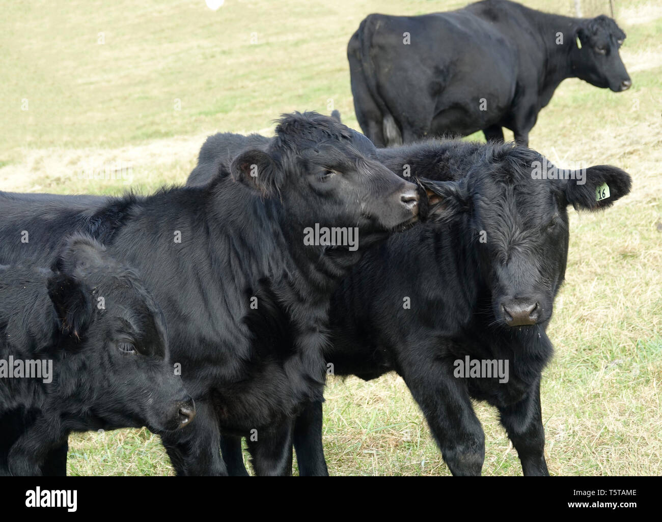 Black Cow Telling Another a Secret Stock Photo