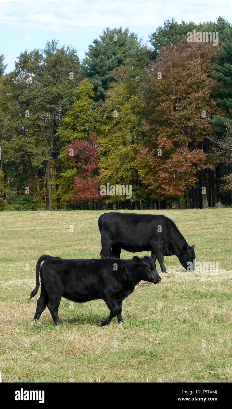 Black Cows Grazing in the Pasture Stock Photo