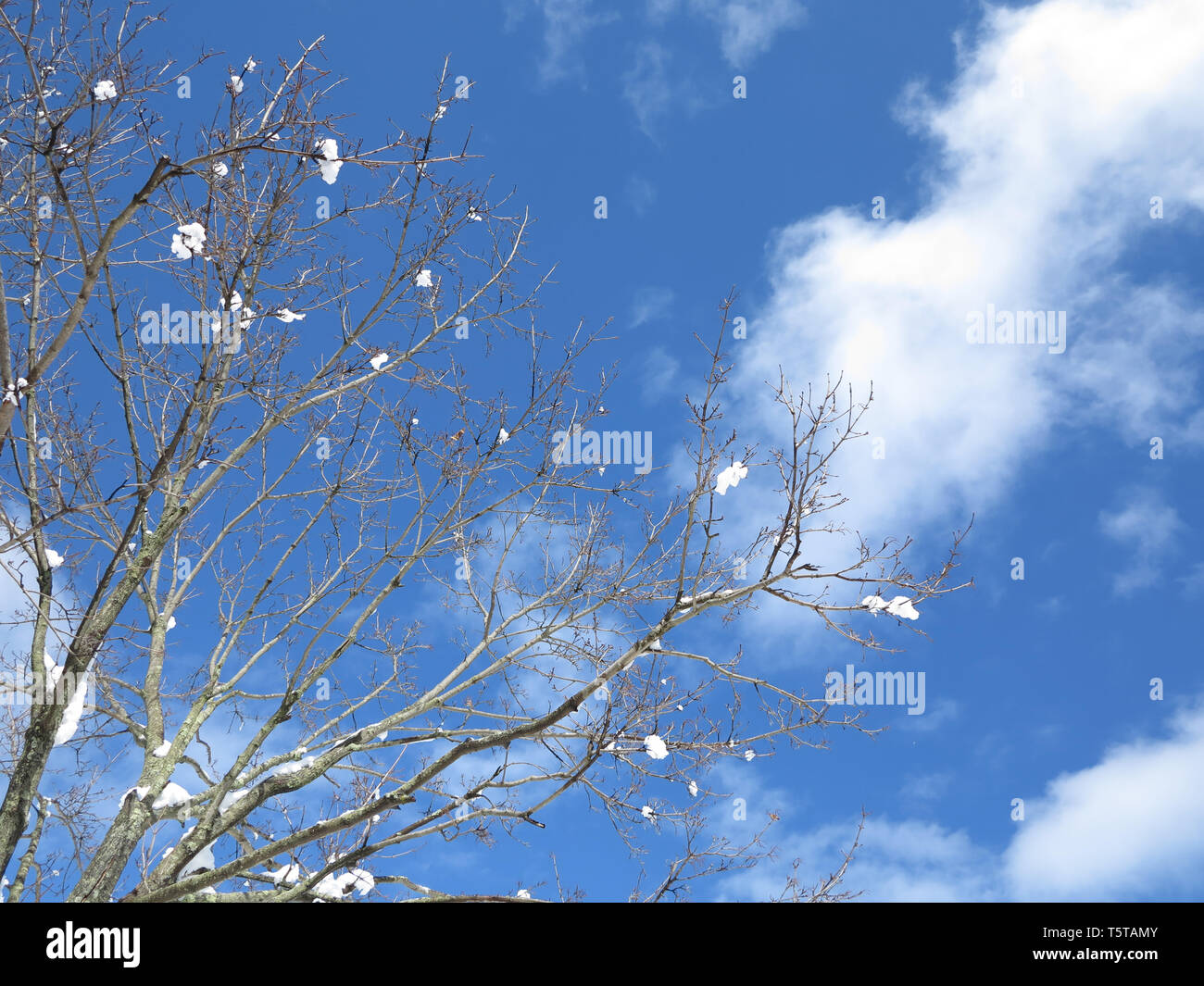 Looking Up at Snow Tipped Branches In the Winter on a Clear Blue Day Stock Photo