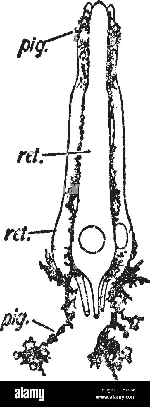 Retinula of the central eye of a scorpion consisting of five retina cells with adherent branched pigment cells, vintage line drawing or engraving illu - Stock Image