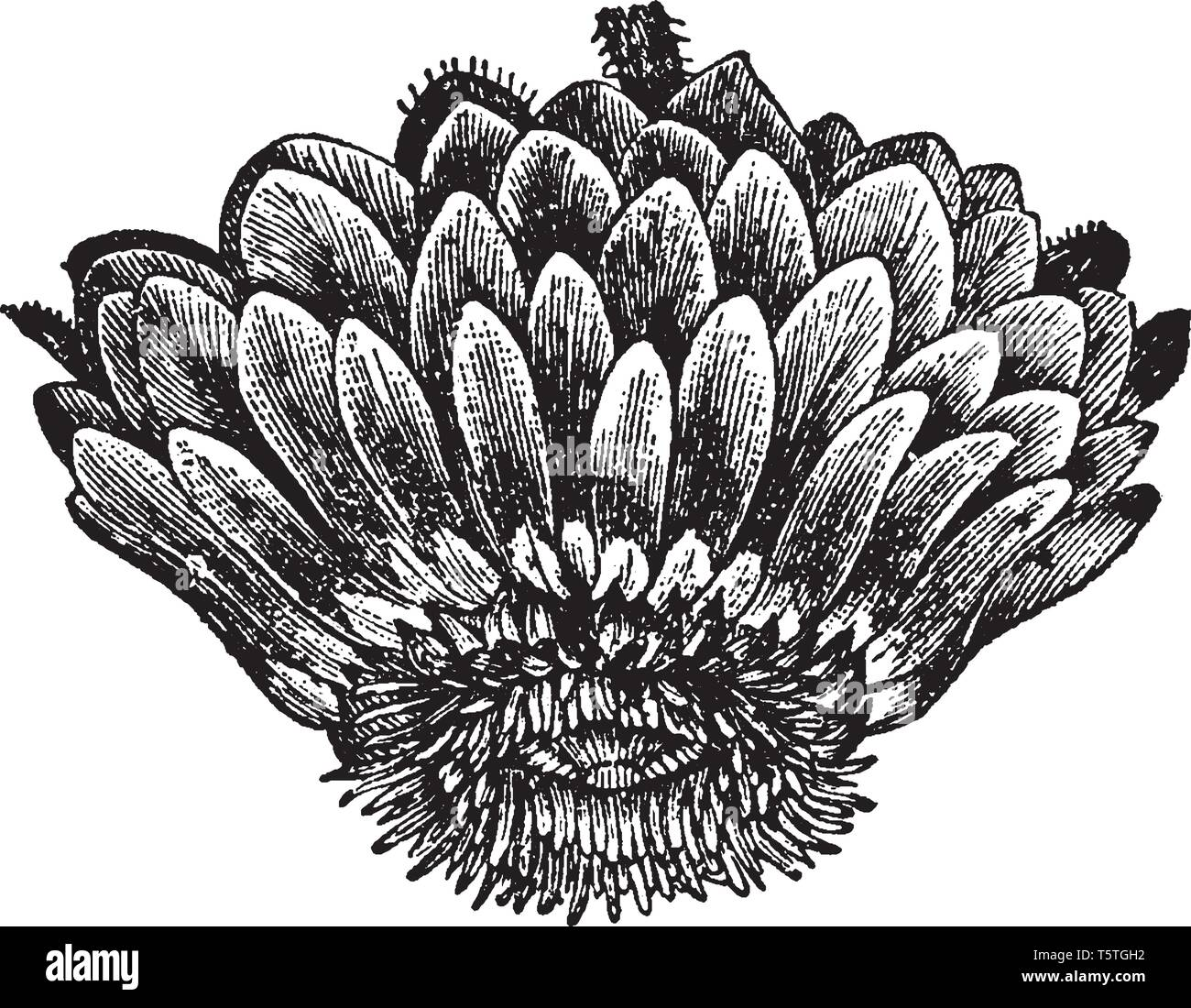 This picture is showing a victoria regia flower. This is a water plant. The flower leaves are dense and oval shaped, vintage line drawing or engraving Stock Vector