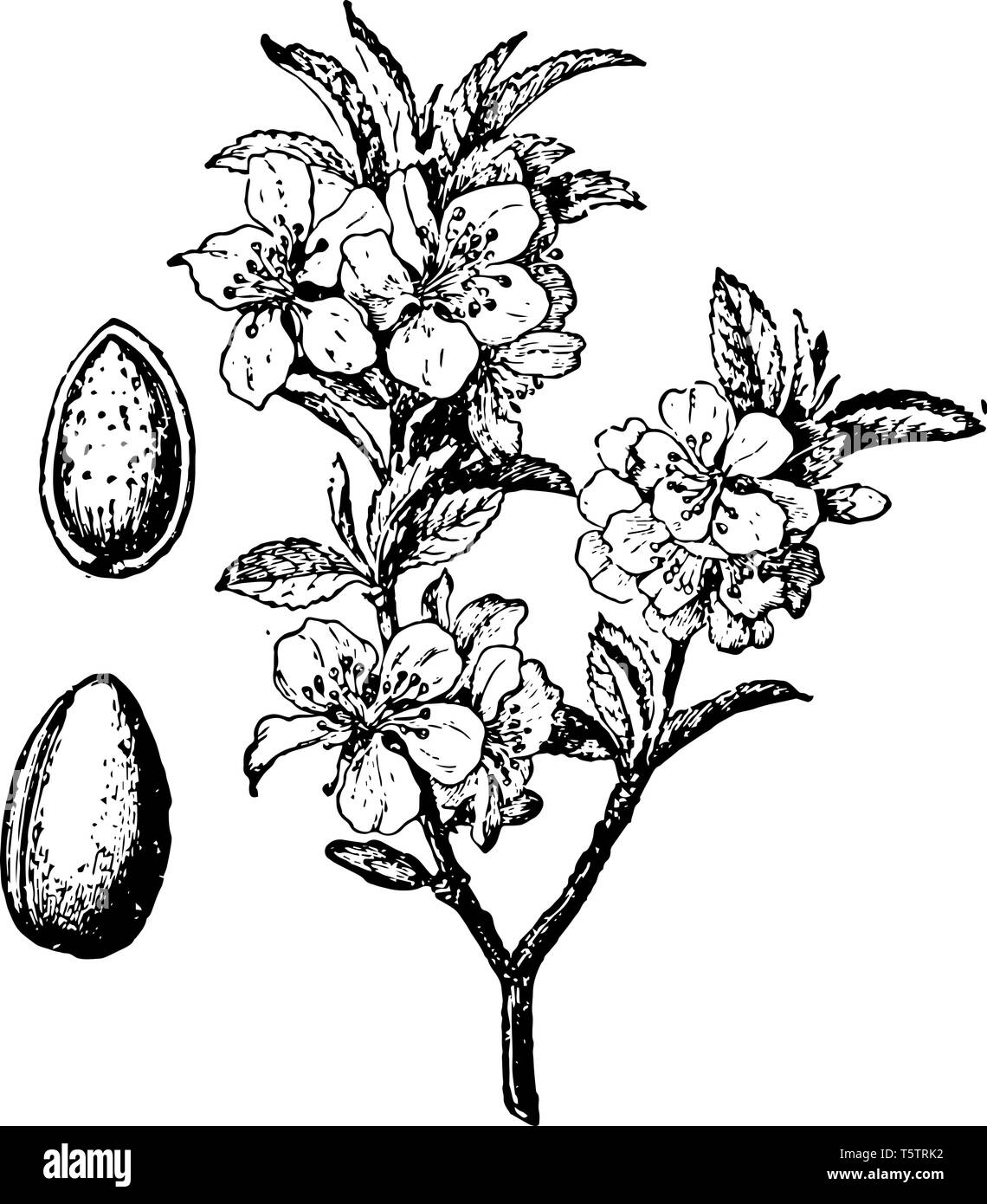 In This Image The Branch Blossom And Fruit Are The Almond Tree Vintage Line Drawing Or Engraving Illustration Stock Vector Image Art Alamy