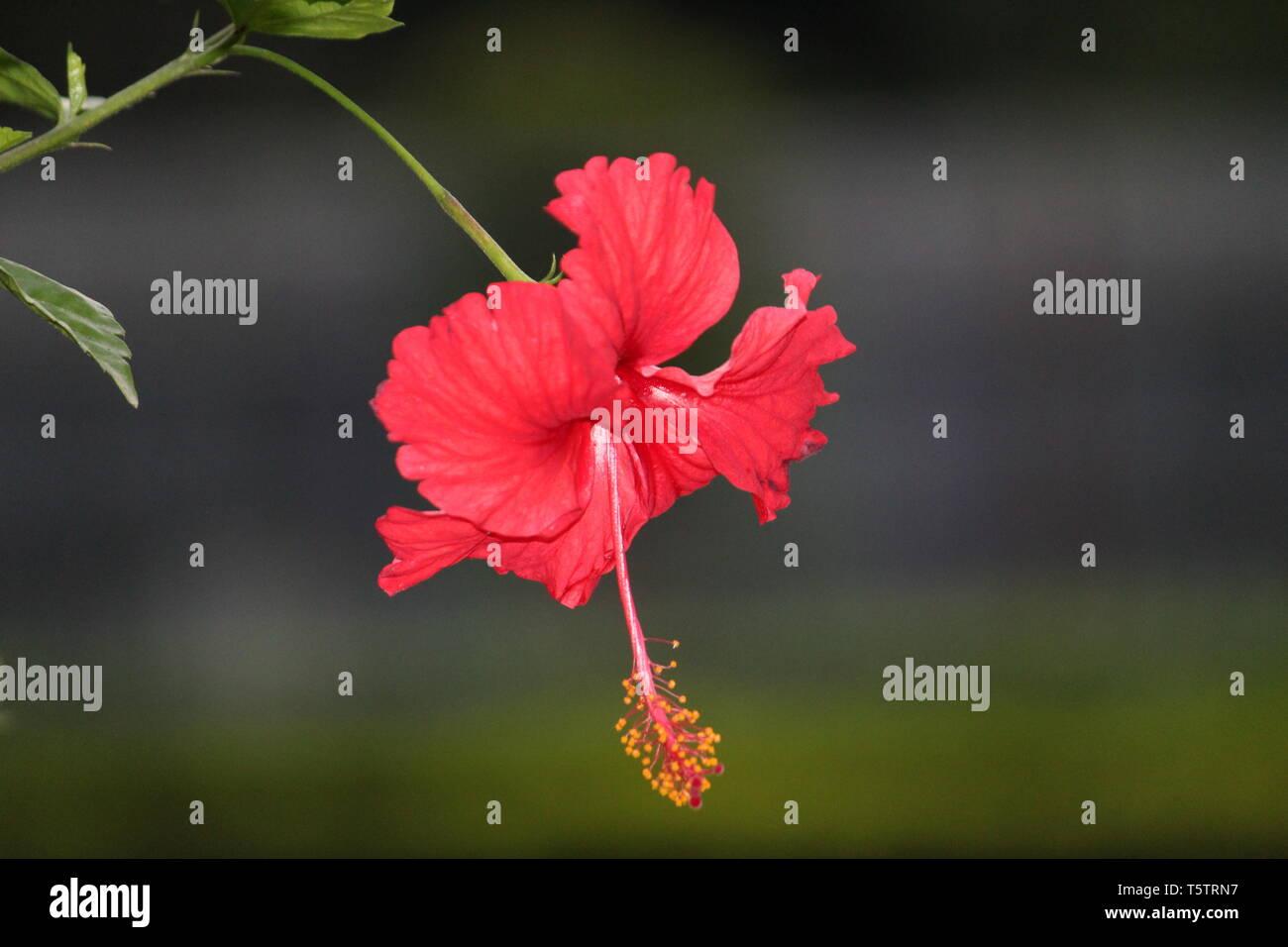 Indian Hibiscus Flowers Stock Photos Indian Hibiscus Flowers Stock