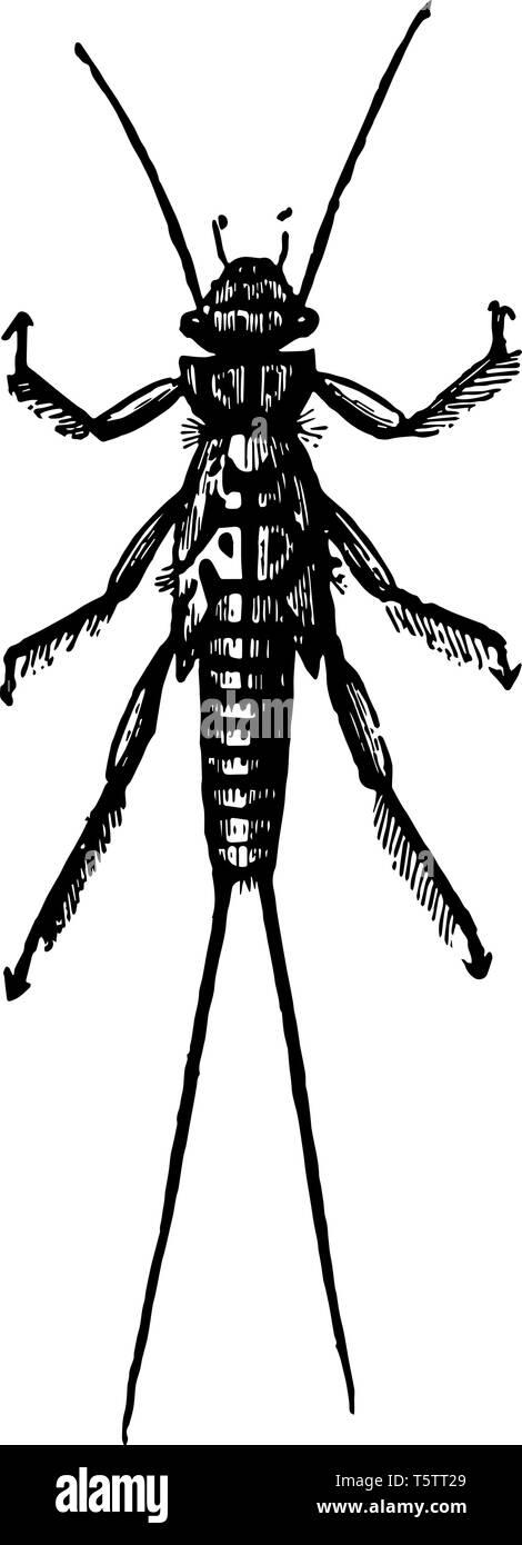 Larva of Perla Bicaudata which undergo incomplete metamorphoses vintage line drawing or engraving illustration. - Stock Image