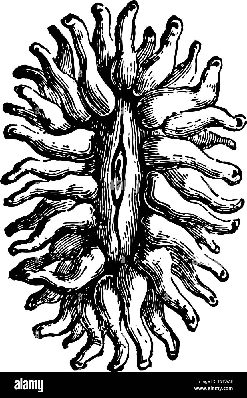 Flabellum Pavonium the polyps occur in clusters and are multiplied by buds vintage line drawing or engraving illustration. Stock Vector