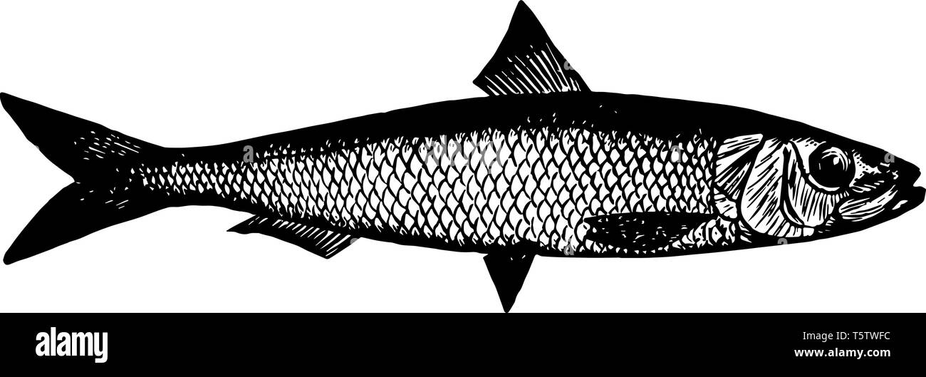 Californian Sardine Is A Small Fish Related To The Herring