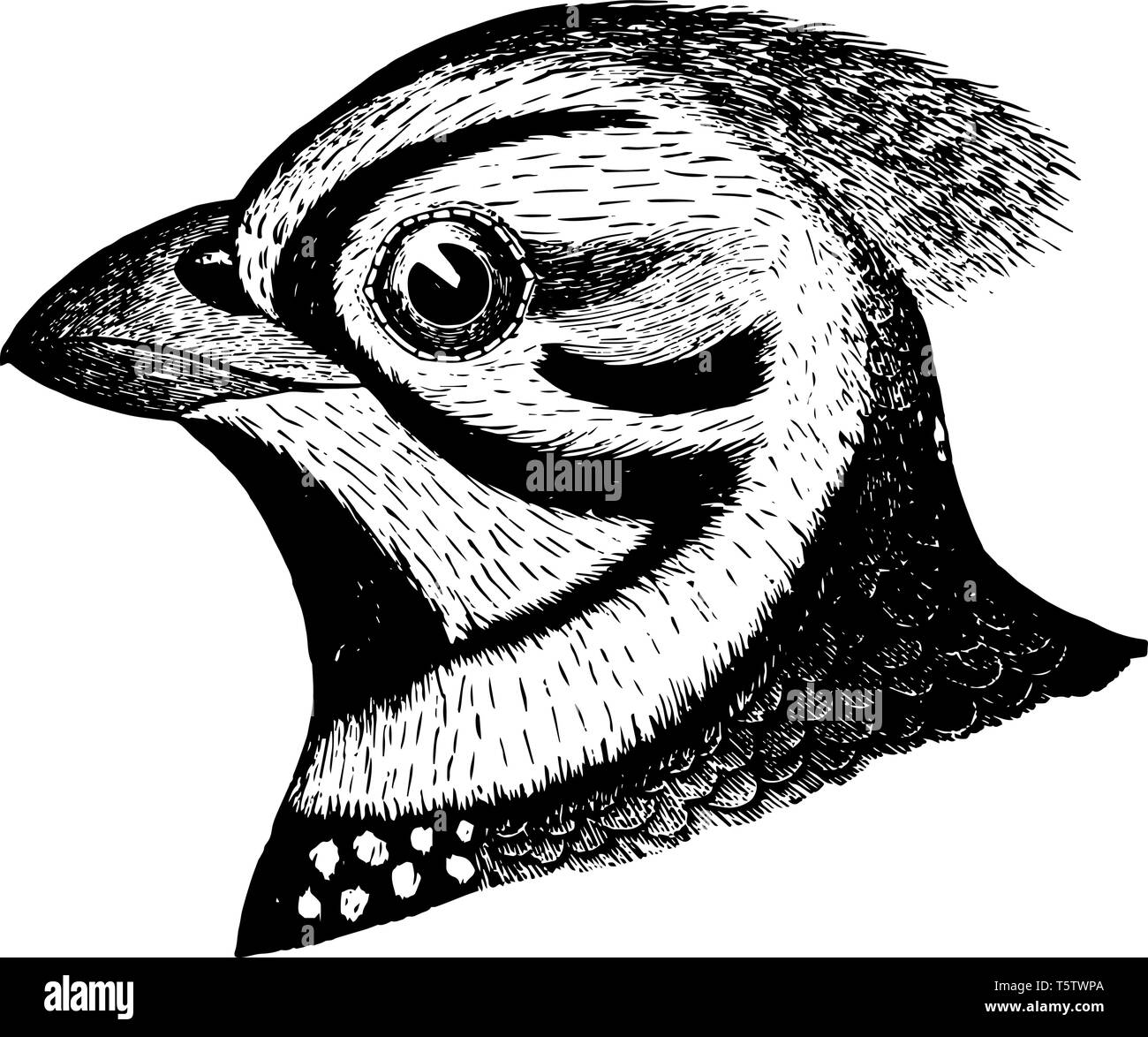 Quail Black and White Stock Photos & Images - Alamy
