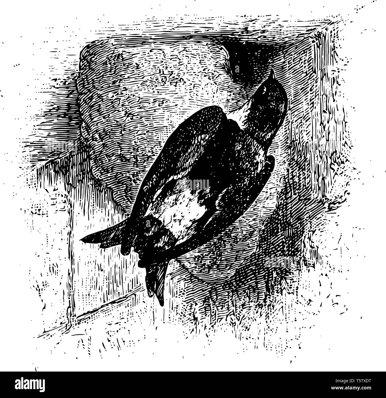 House Martin is a migratory passerine bird of the swallow family vintage line drawing or engraving illustration. - Stock Vector