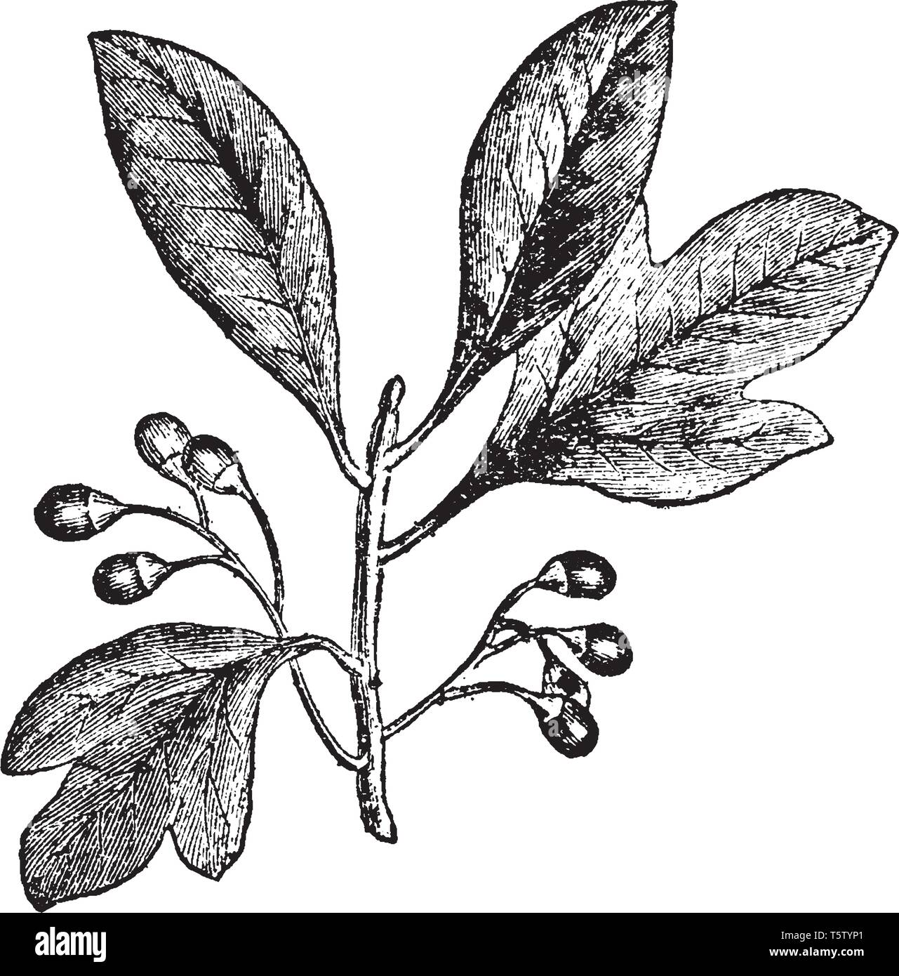 A branch of Sassafras plant. Plant belongs to Lauraceae family and is native to North America and eastern Asia. Plant having three distinct leaf patte - Stock Vector