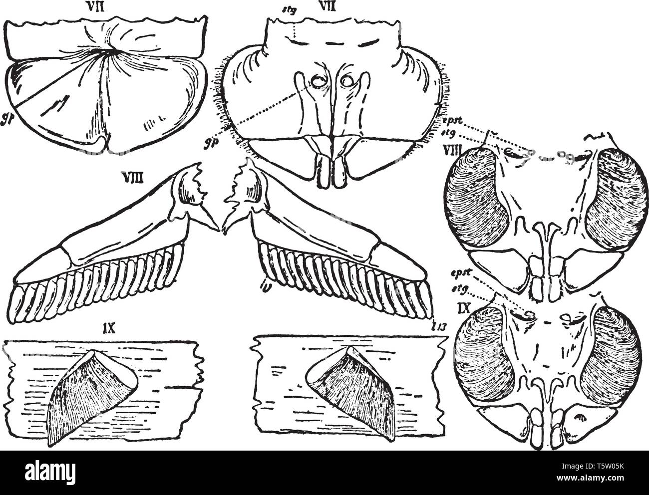 Mesosomatic appendages of Scorpio and Limulus compared, vintage line drawing or engraving illustration. - Stock Image