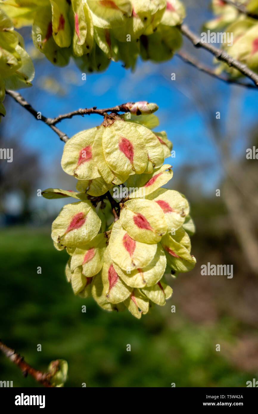 Fruits of wych elm tree Ulmus glabra appear before the leaves in late April - Somerset UK - Stock Image