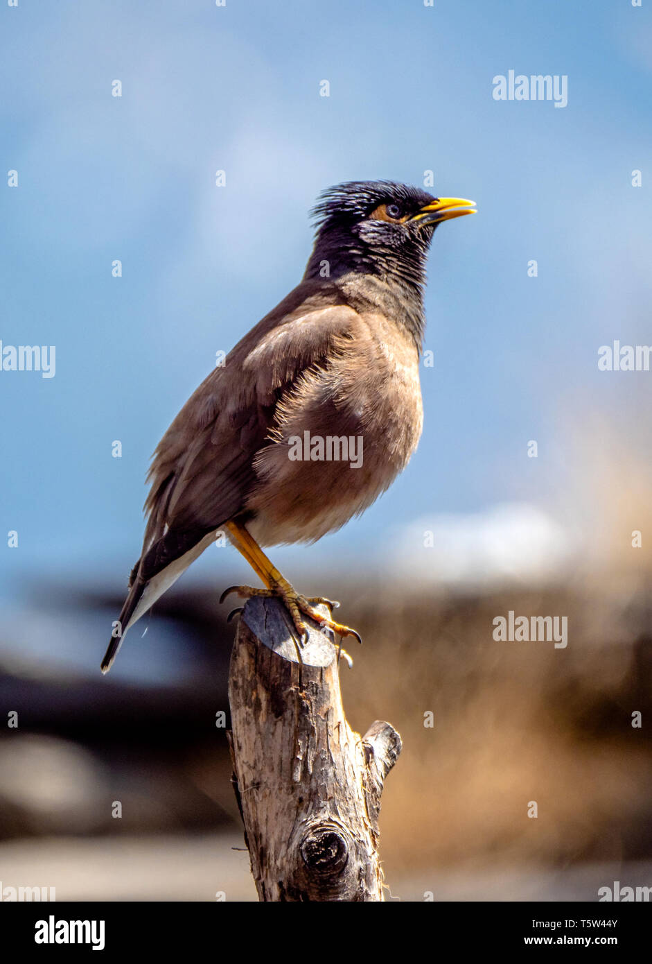 Common myna Acridotheres tristis chattering from a post in a Himalayan vilage in northern India - Stock Image