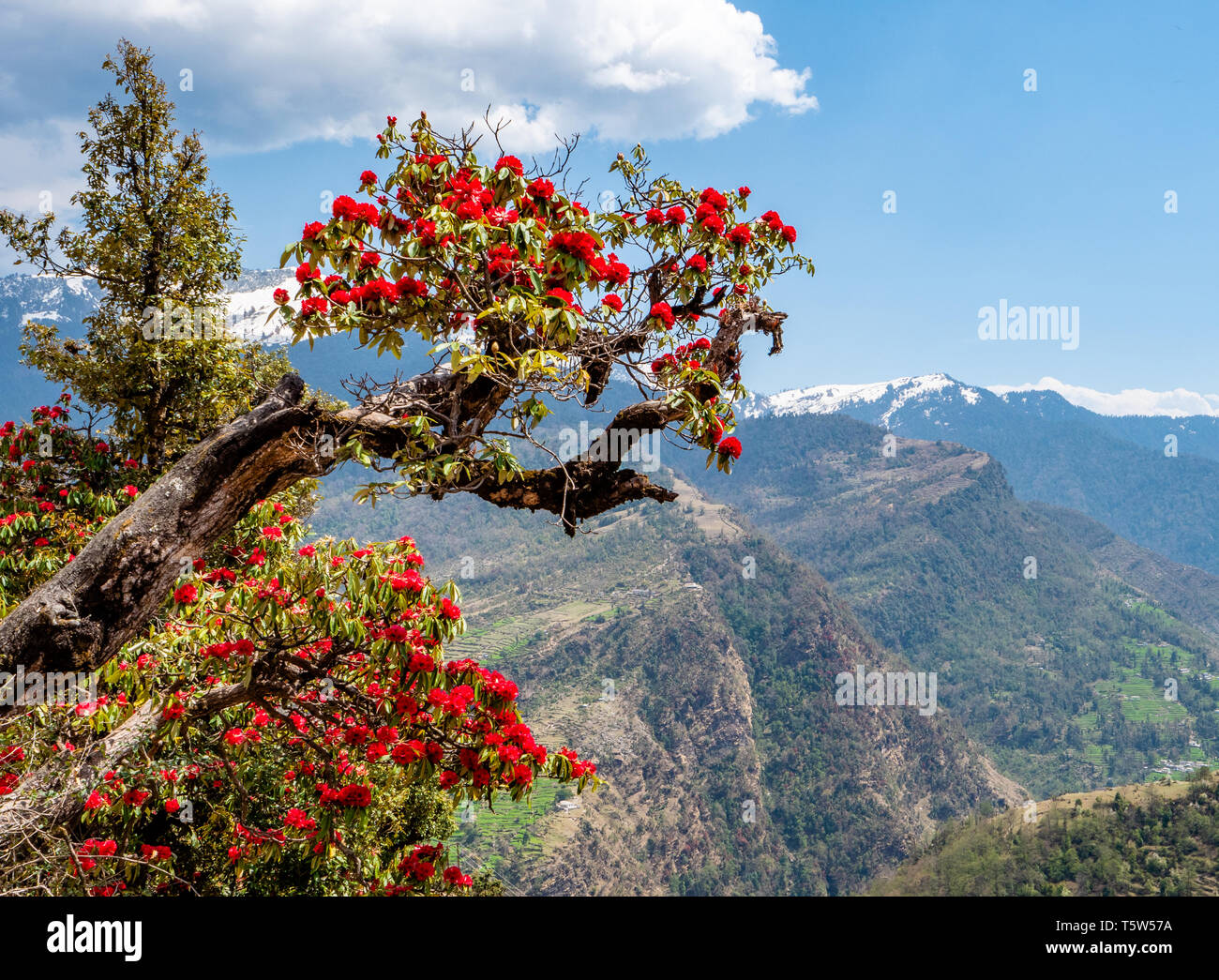 Spectacular red flowers of tree rhododendron ( R. arboreum ) above the Saryu Valley in Uttarakhand Himalayas India - the state flower of Uttarakhand - Stock Image