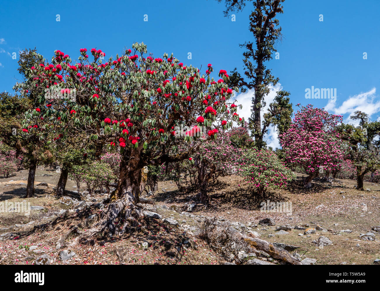 Rhododendron trees R. arboreum add splashes of colour to the landscape of the Himalayan foothills of the Saryu Valley in Uttarakhand Northern India - Stock Image