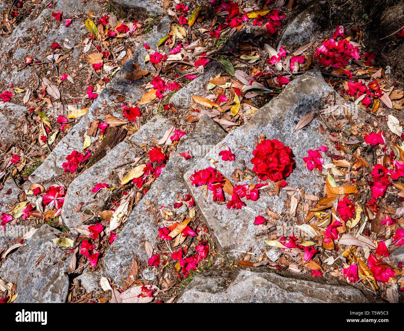 Silvery stepped footpath strewn with colourful scarlet petals of tree rhododendron R arboreum in the Pindar Valley Uttarakhand Northern India - Stock Image
