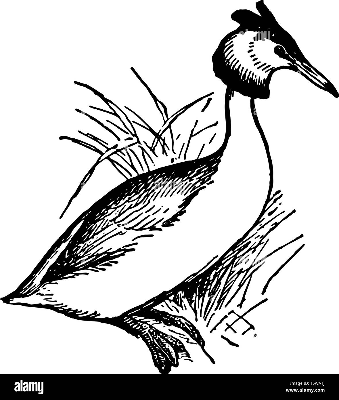 Great Crested Grebe is a fresh water migratory diving bird of the family Podicipidae, vintage line drawing or engraving illustration. - Stock Vector