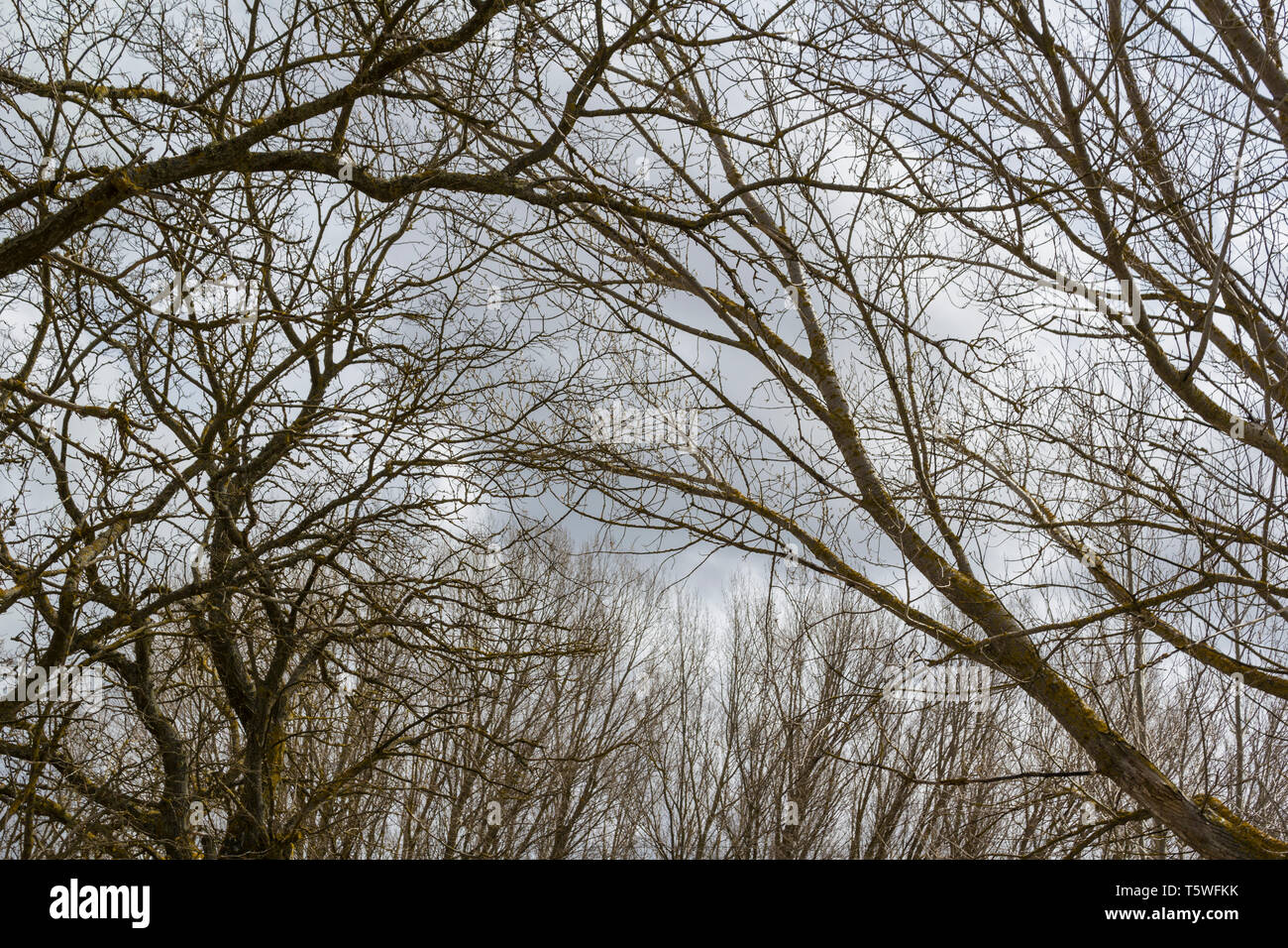 Winter trees - Stock Image