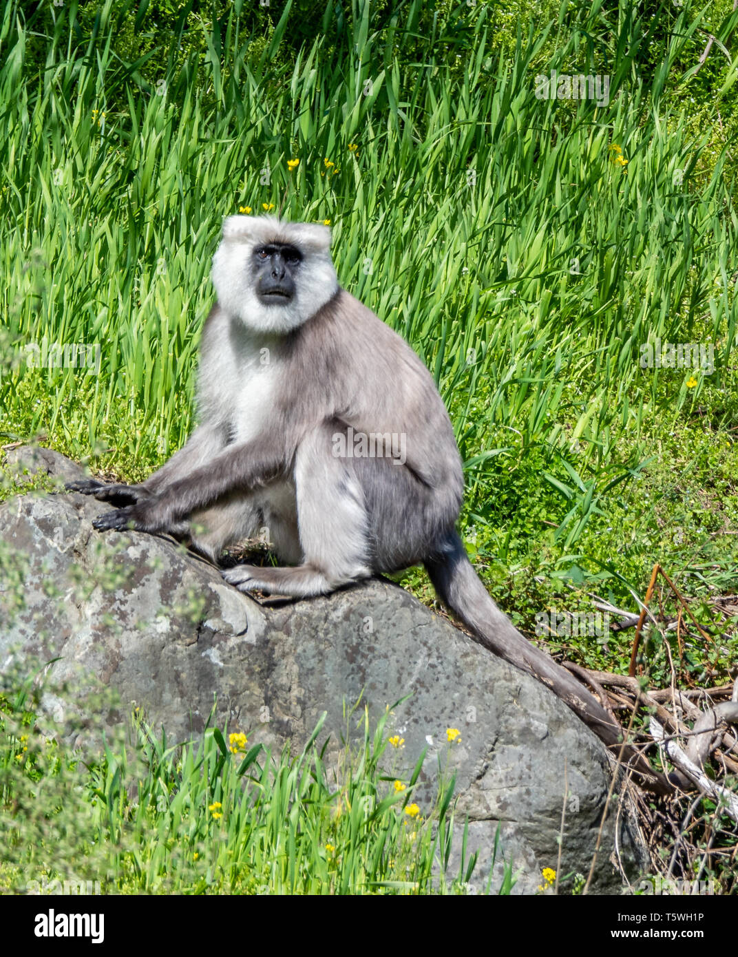 Male Nepal grey langur or black faced monkey Semnopithecus schistaceus foraging for food in the Pindar valley of the Indian Himalayas - Stock Image