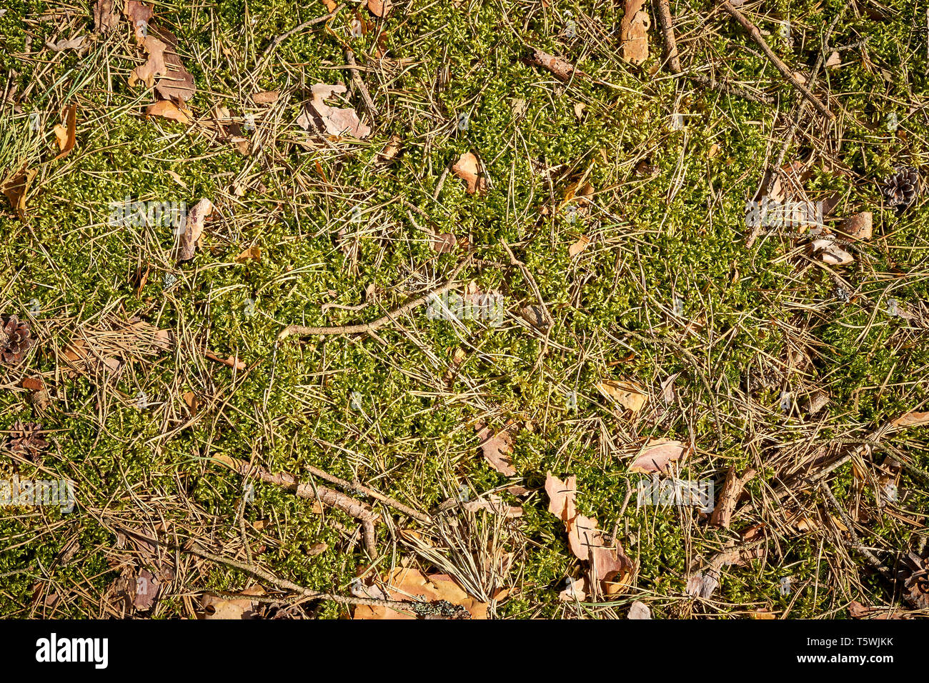 Background With Forest Mulch With Moss And Dry Twigs Stock Photo