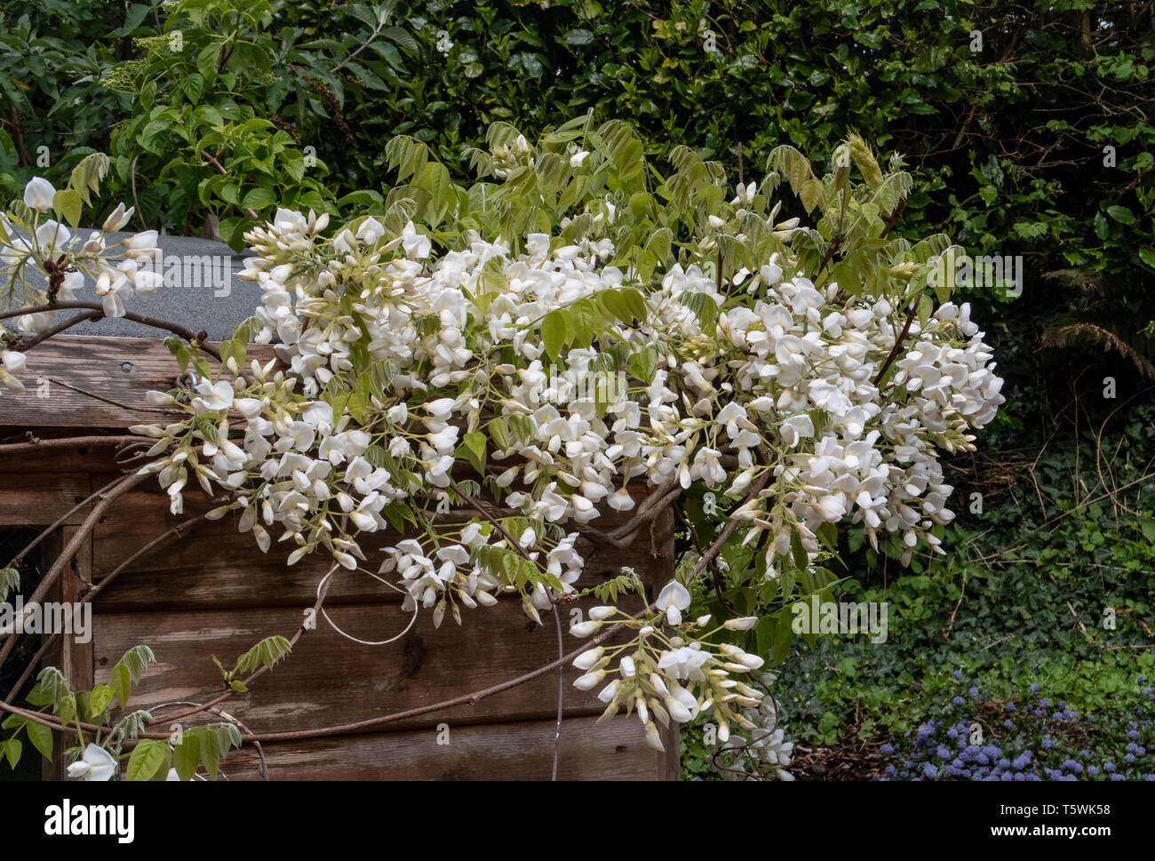 White Wisterria Sinensis Blanca growing up the side of a garden potting shed. Stock Photo