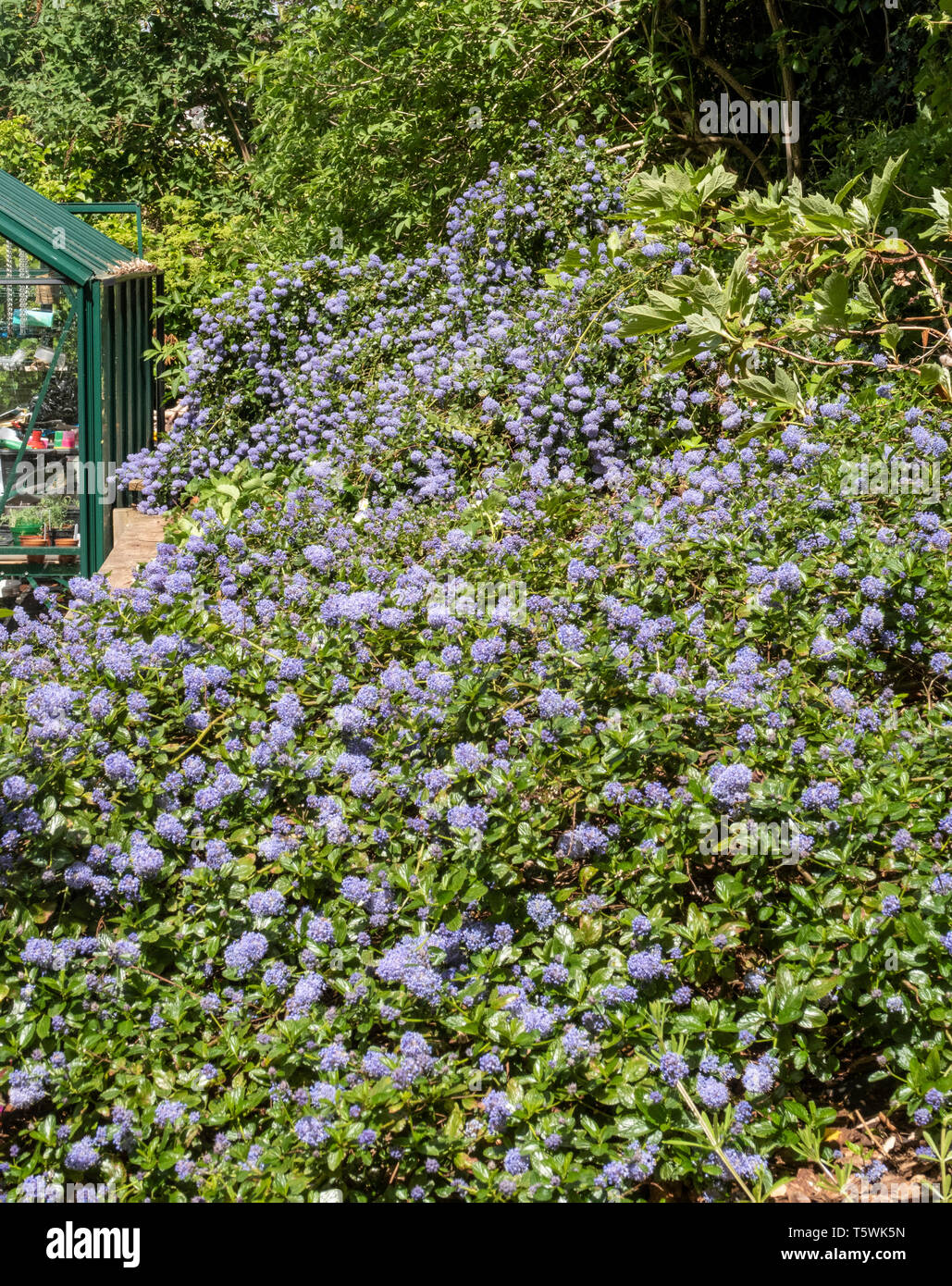 Ceanothus thyrsiflorus repens, growing on top of a bank beside a greenhouse. Stock Photo
