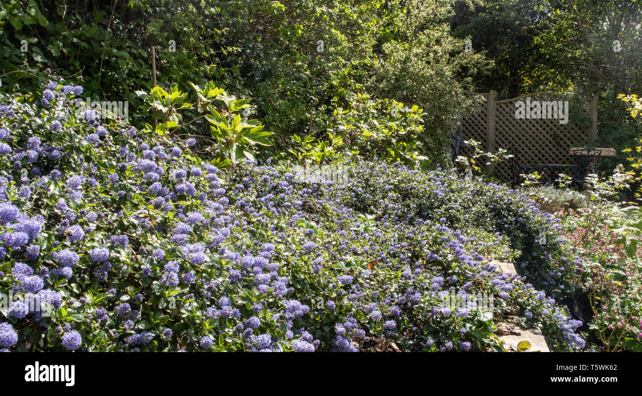 Ceanothus thyrsiflorus repens, growing on top of a bank above a wall made of railway sleepers. - Stock Image