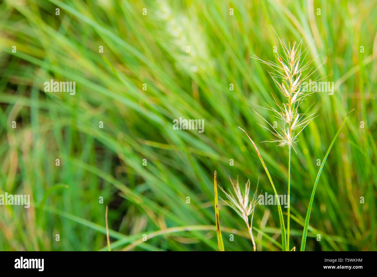 The benign flower of grass and grass blade in wind - Stock Image