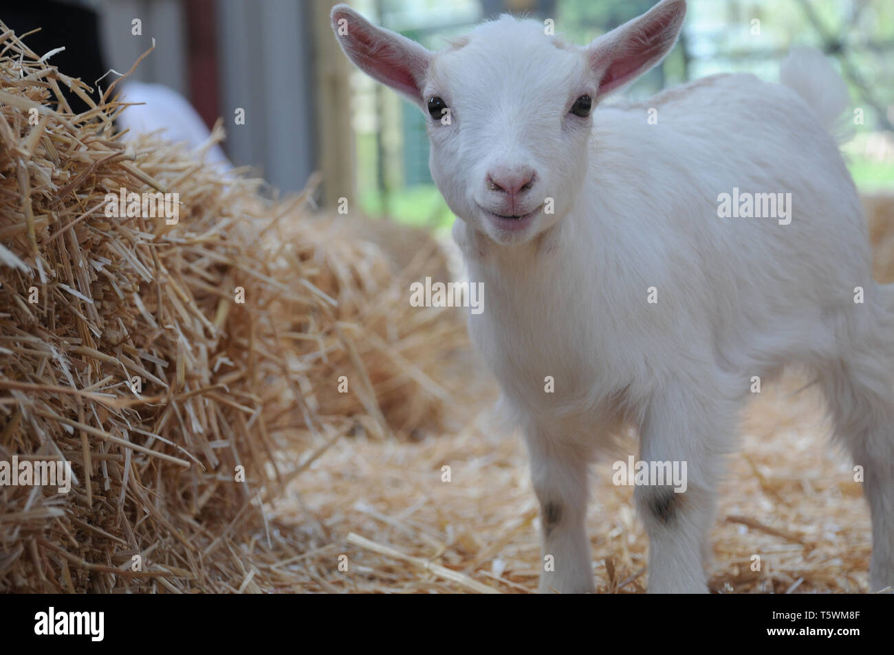A young baby pygmy goat kid playing in straw in a barn - Stock Image
