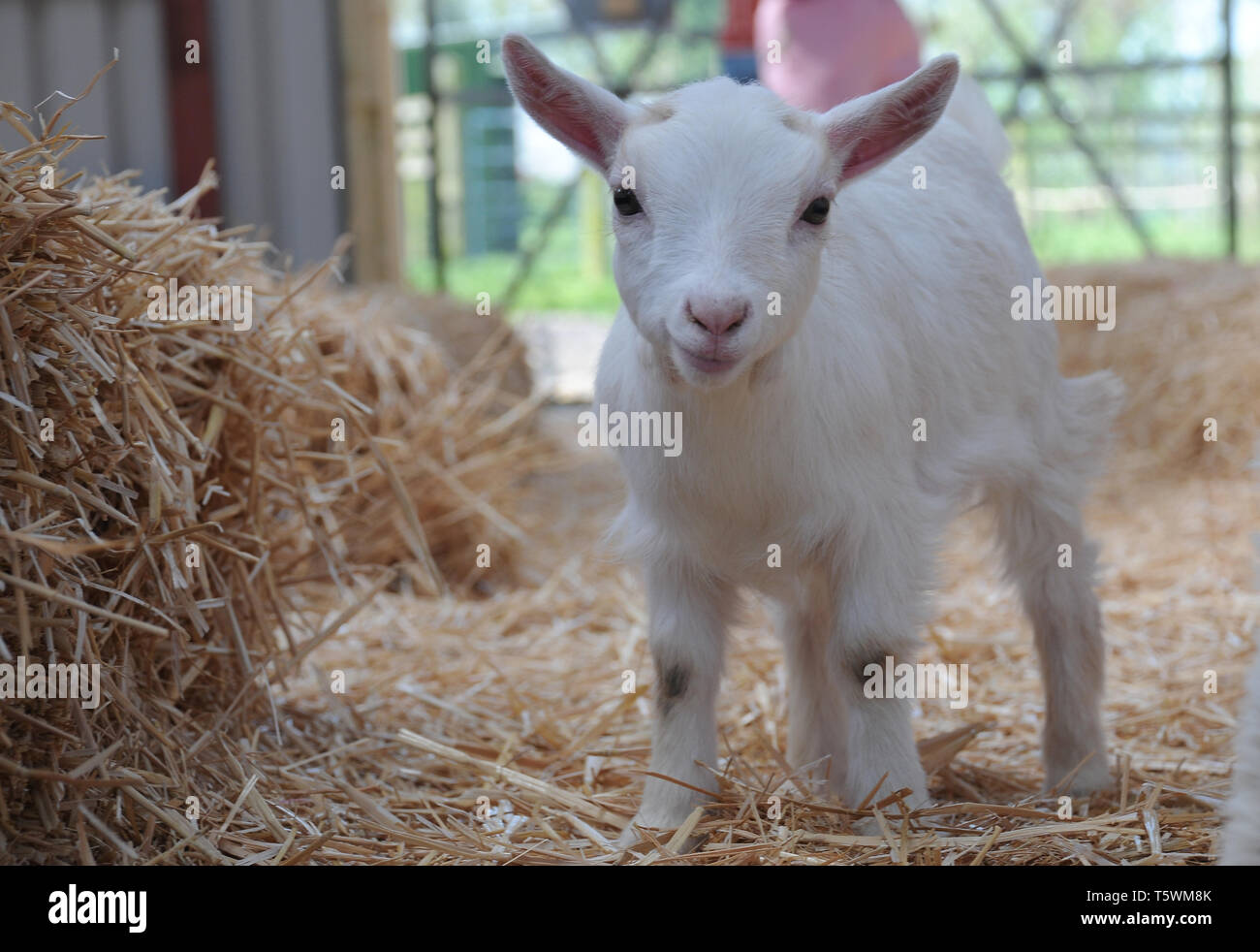 A cute young baby pygmy goat playing in straw in a barn. - Stock Image