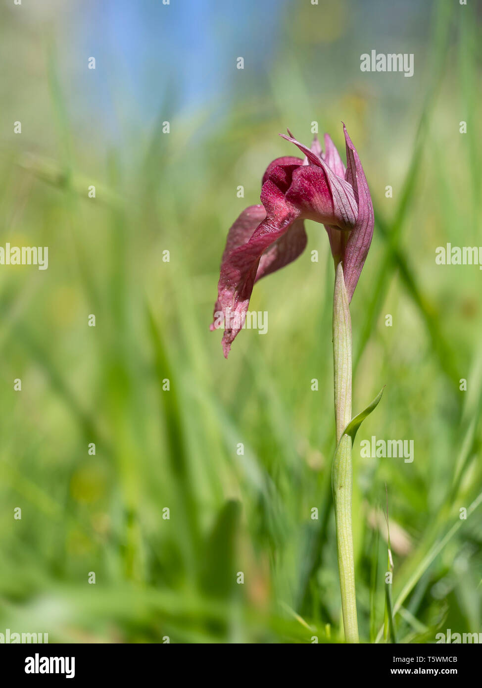 Serapias Lingua, Tongue orchid. Wildflower. Closeup with narrow depth of field, defocussed background. - Stock Image